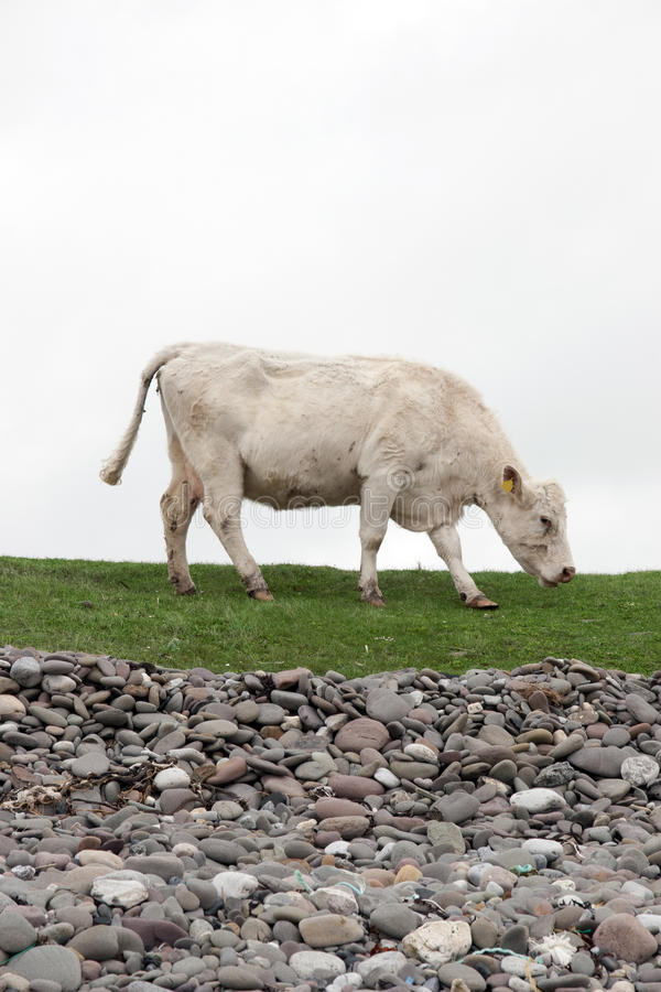 Lone cow feeding on the coastal green grass stock photo