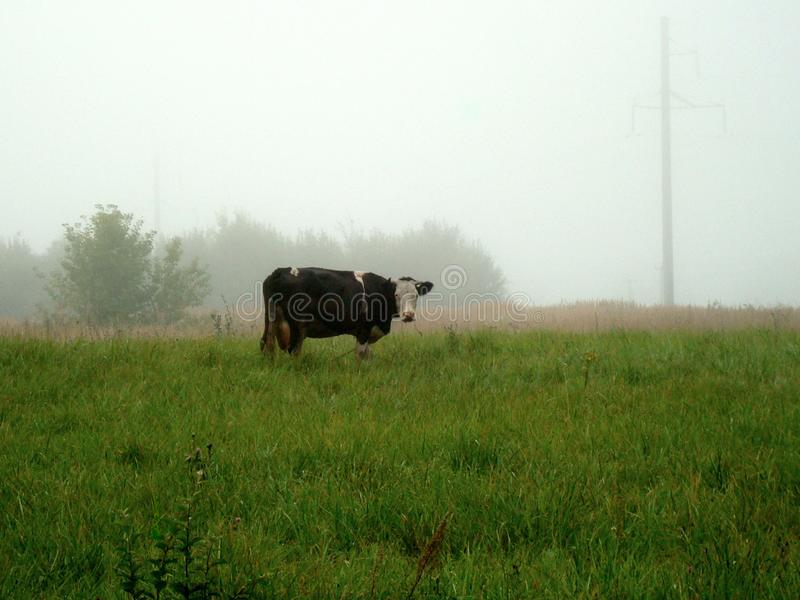 A lone cow grazes on a green meadow on a foggy morning stock photos