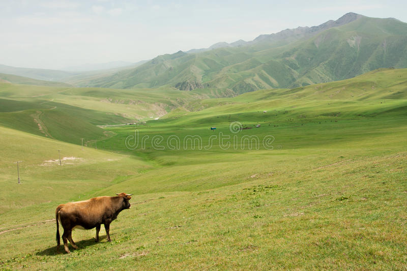 Lone cow grazing in a valley with green grass between the mountains. Of Central Asia royalty free stock photo