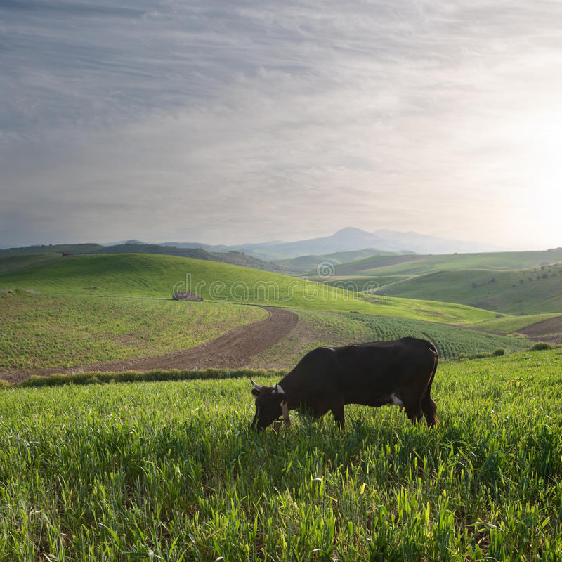 Free Lone Cow Landscape Stock Photos - 14066323