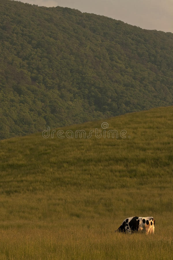 Lone Cow in Pasture royalty free stock images