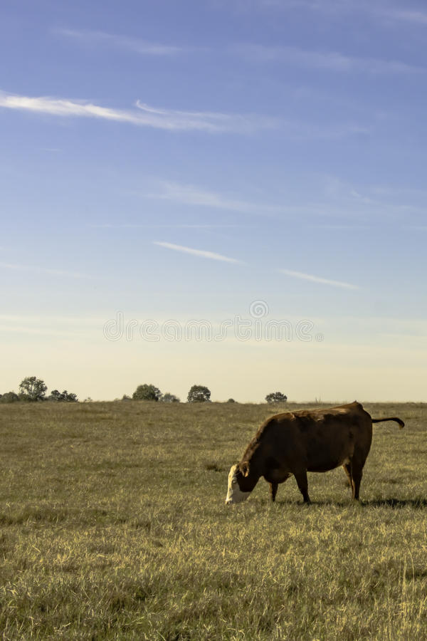 Lone cow in pasture with blue sky - vertical. Lone commercial crossbred beef cow in a dormant pasture with blue sky in vertical format stock images