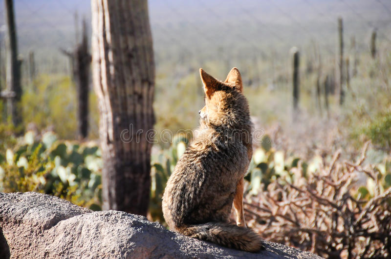 Download Lone Coyote stock image. Image of closeup, desert, watchful - 15342923