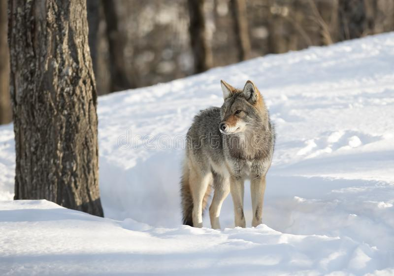 Lone coyote Canis latrans standing and hunting in the winter snow in Canada stock photo