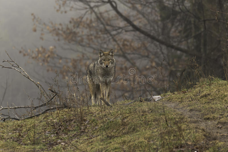 A lone coyote in a fall scene royalty free stock photos