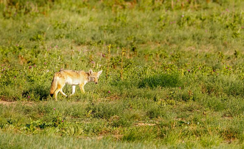 A lone coyote hunting on the Colorado prairie. royalty free stock images