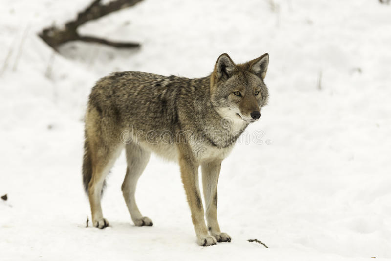Lone coyote in a winter scene. A lone coyote in a winter scene stock image