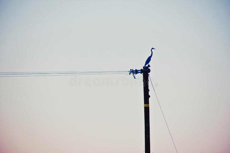 Lone Snowy Egret. Perched on a phone pole in the desert sunset stock image