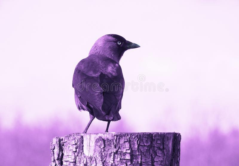 Amethyst / Purple Crow / Jackdaw. A lone crow / jackdaw standing on a tree stump finished in hues of purple except his pale yellow eye