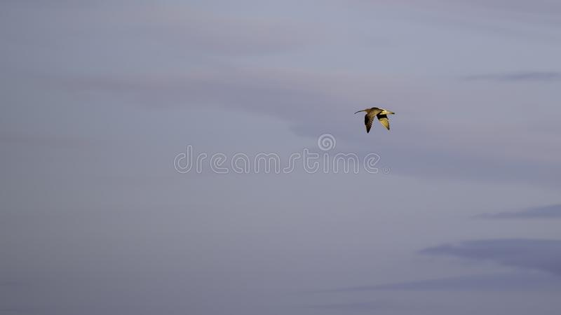 Lone curlew flying in soft evening light. Lone curlew with soft evening light glowing in his feathers flying through a pale sky stock images