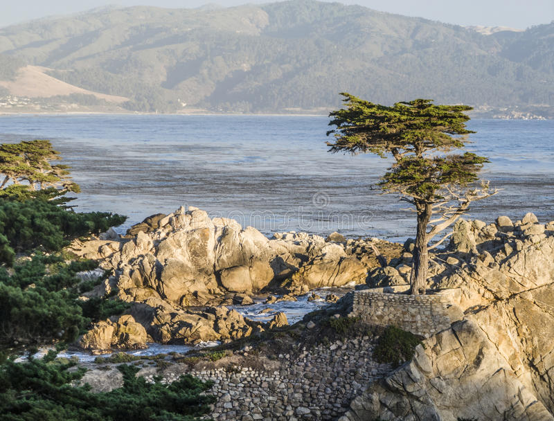 Lone Cypress at the 17-Miles-Drive in California. MONTEREY, CALIFORNIA - JUL 26, 2008: Lone Cypress tree view along famous 17 Mile Drive in Monterey. Sources royalty free stock photography