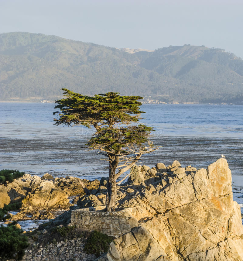 Lone Cypress at the 17-Miles-Drive in California. MONTEREY, CALIFORNIA - JUL 26, 2008: Lone Cypress tree view along famous 17 Mile Drive in Monterey. Sources stock photos