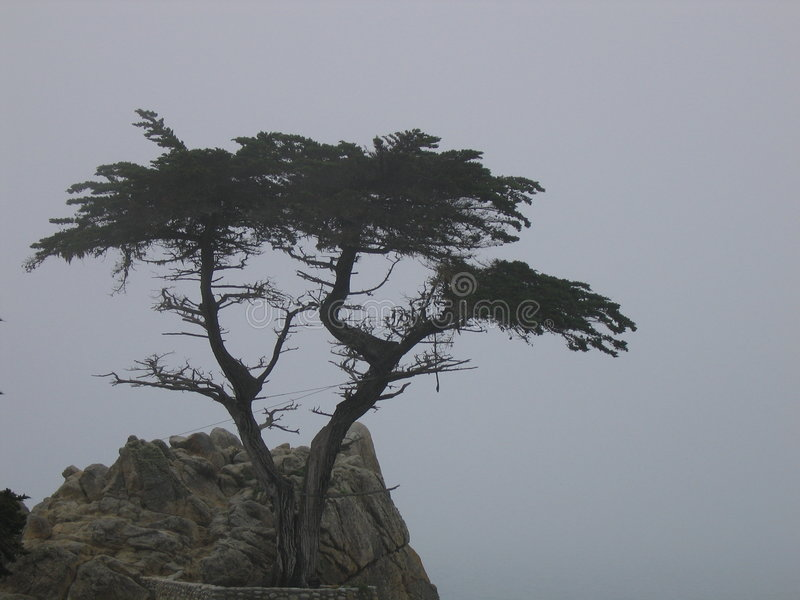 Download The Lone Cypress Tree editorial photo. Image of hundreds - 154611