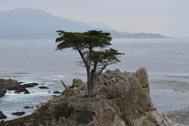Lone Cyprus Tree. Famous Lone Cyprus Tree Pebble Beach royalty free stock photo
