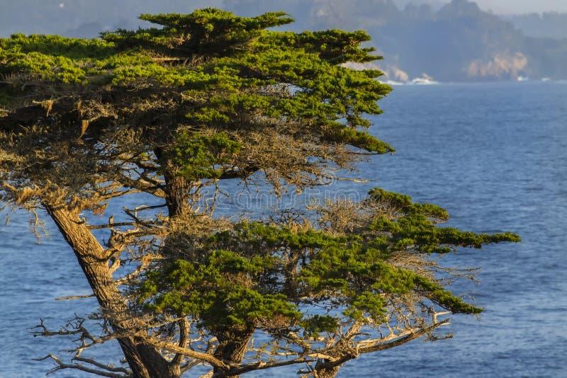 Lone Cyrpess Tree On The California Coastline. Lone cypress tree on the California coastline royalty free stock photos