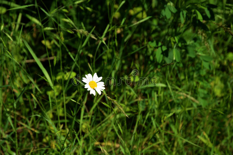 Lone daisy. A lone daisy on a field of greenery royalty free stock images