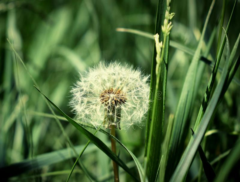 Lone dandelion in the field, Beautiful background image in good detail. Beautiful background image in good detail, Lone dandelion in the field royalty free stock photography