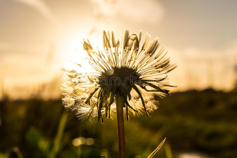 A lone dandelion in front of a low sun being back lit stock photos