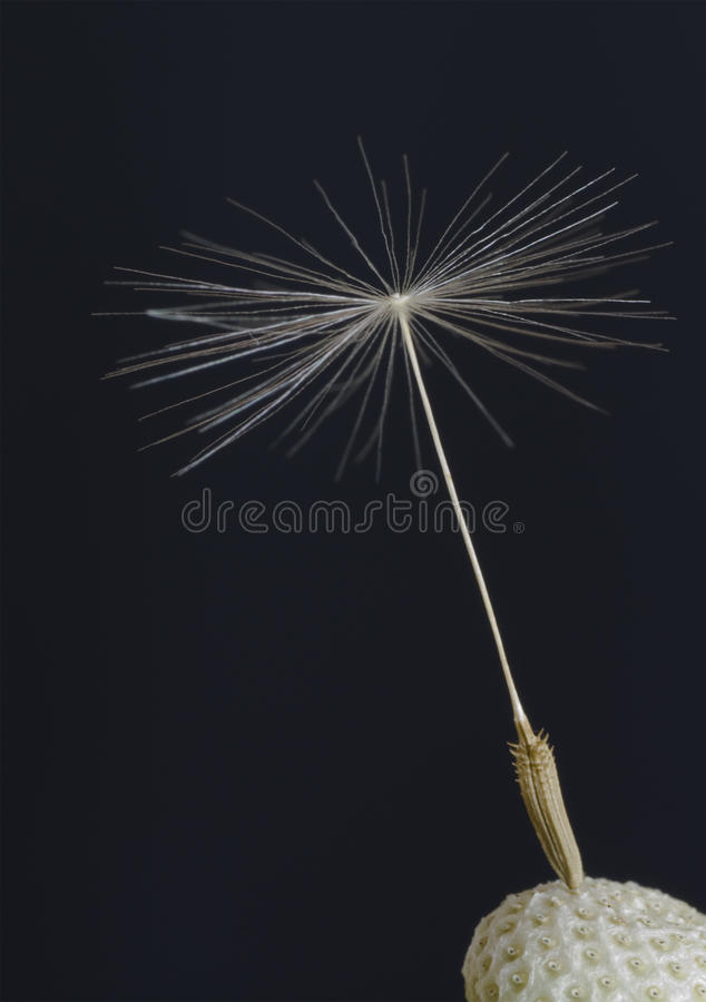 Lone Dandelion Seed royalty free stock photos