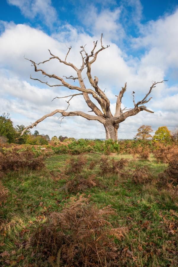 Lone Dead Tree. Standing among the bracken stock photography