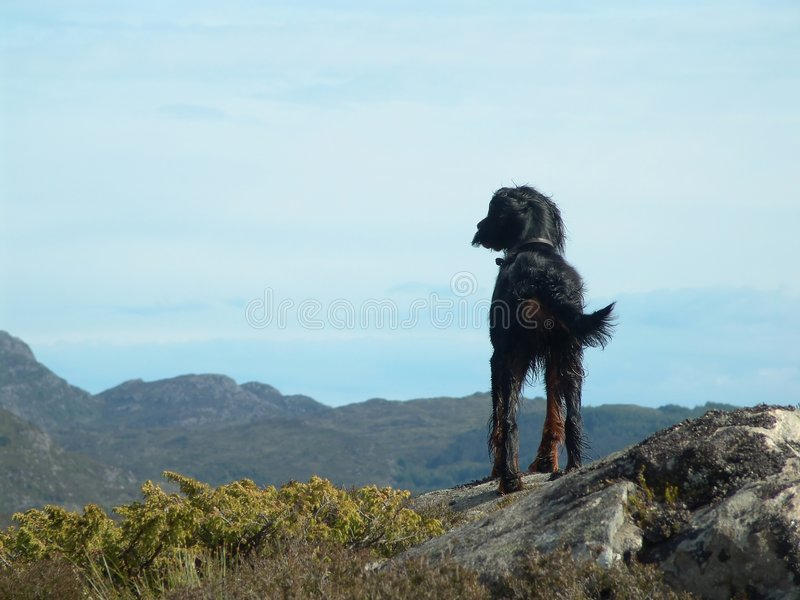 Lone Dog. Gordon Setter enjoying the view. Lots of room for copy royalty free stock image