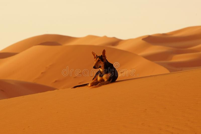 The lone dog in the ERG desert in Morocco royalty free stock photos