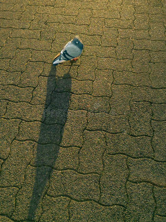 Lone domestic pigeon, Columba Livia, backlit by morning sunlight royalty free stock photography