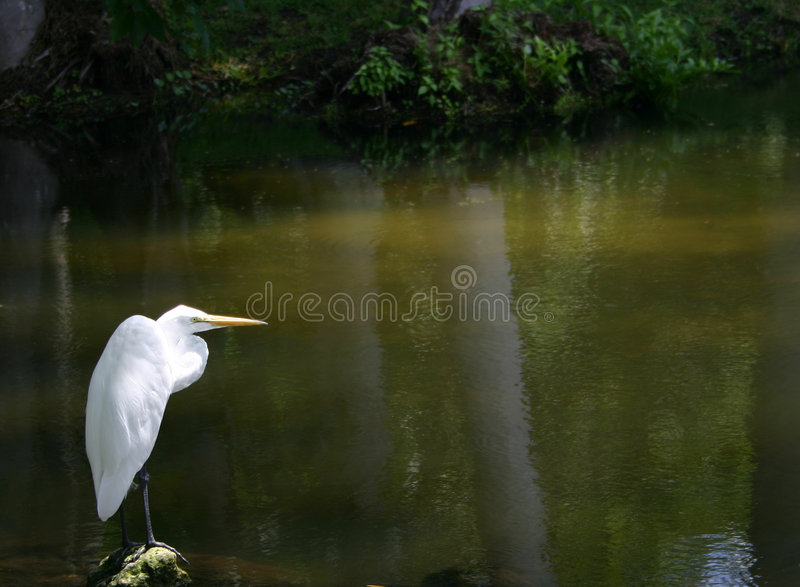 lone egret royaltyfri foto