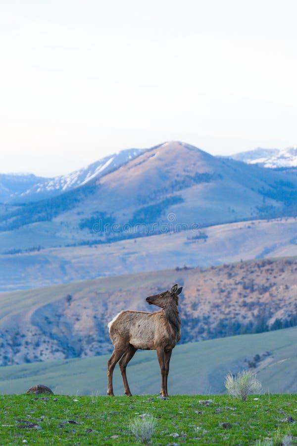 Lone Elk stock images