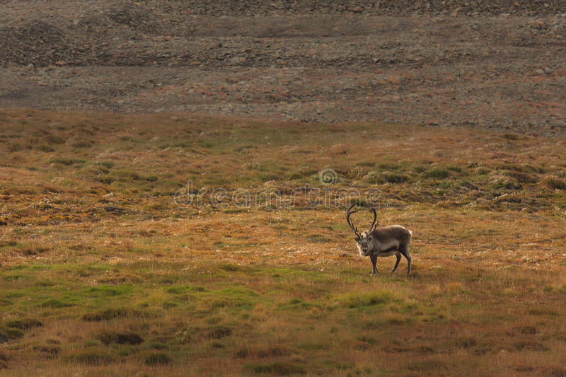 Download Lone Elk in Field stock photo. Image of remote, sunlight - 12503732