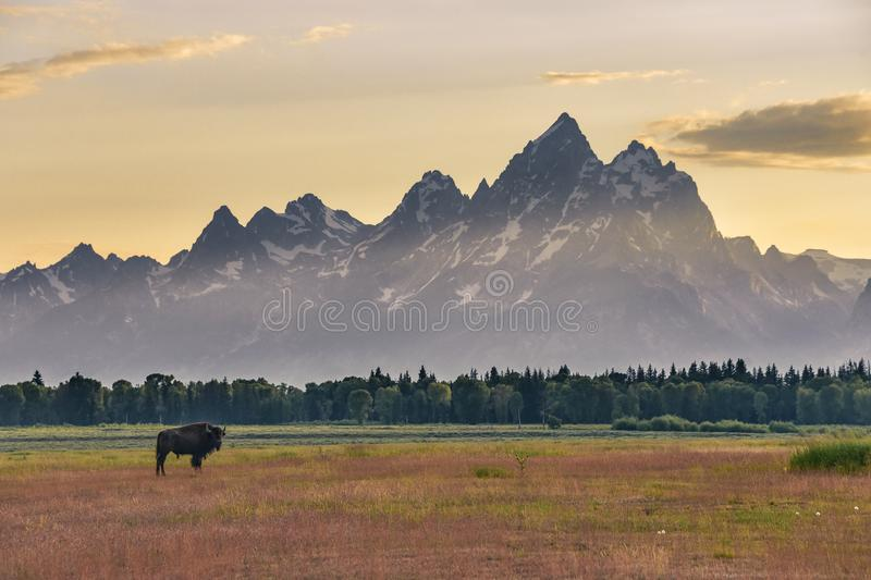 Lone female bison standing in a colorful field in front of the Grand Tetons at sunset. stock image
