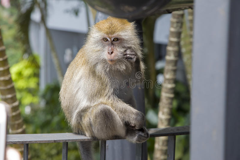 Lone female monkey long tailed macaque in Malaysia, Asia royalty free stock images