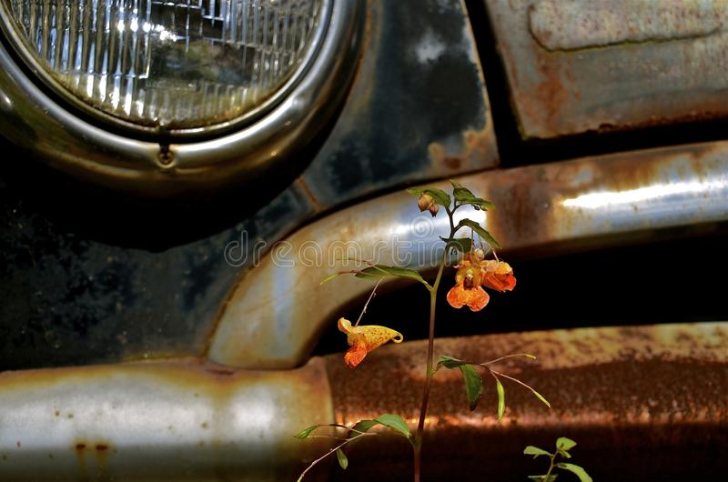 Download Lone Flower Grows In Front Of Car Bumper Stock Photo - Image of blossom, orange: 46200484