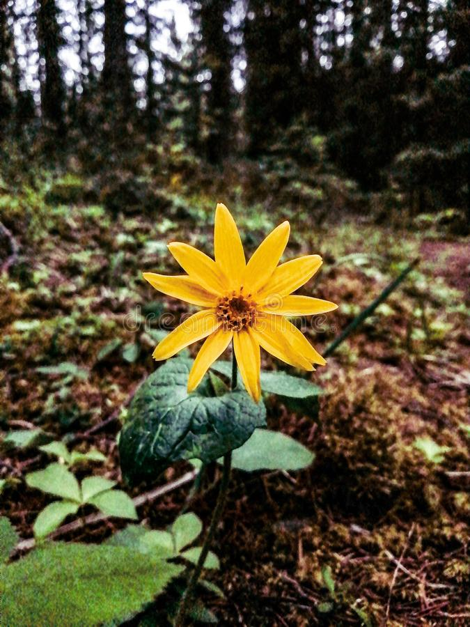 Free Lone Flower In The Forest Royalty Free Stock Image - 163355586