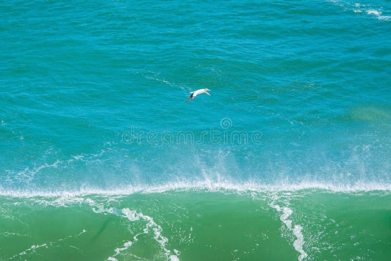 Lone gannet flying stock photo