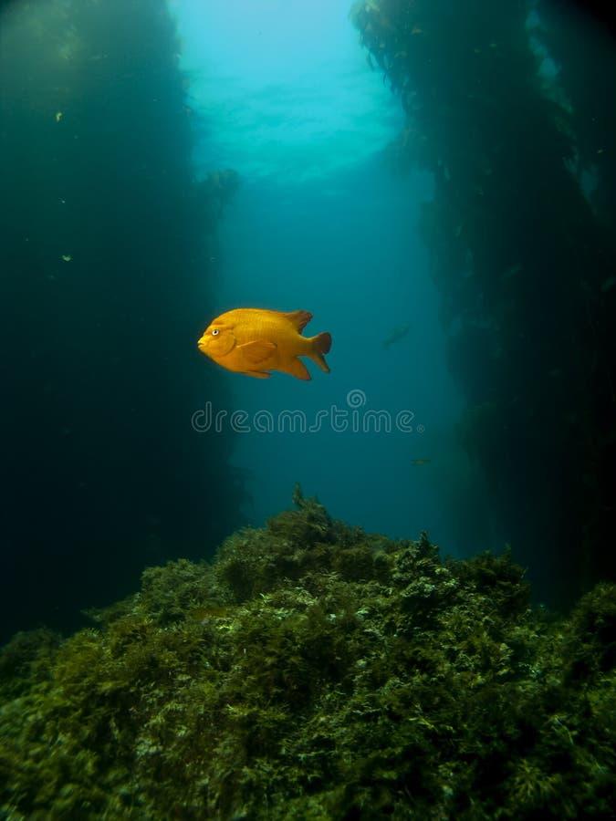 Lone Garibaldi on a Catalina Reef. One Lone Garibaldi on a Catalina Reef in Avalon stock photo