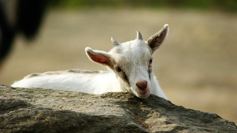 A lone goat royalty free stock photography