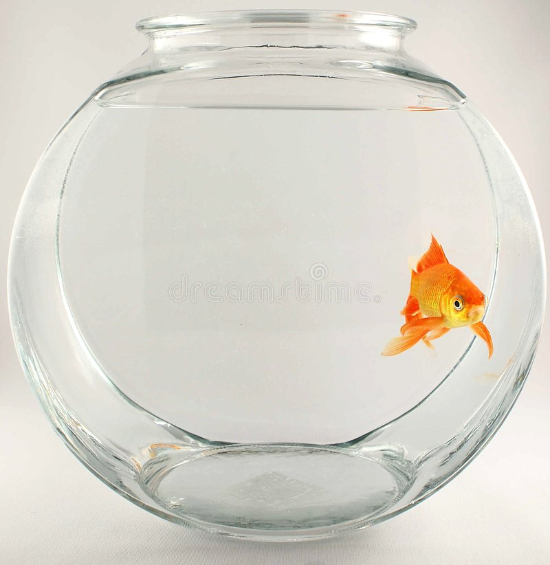 Download Lone gold fish stock photo. Image of looking, mammal, golden - 1639620