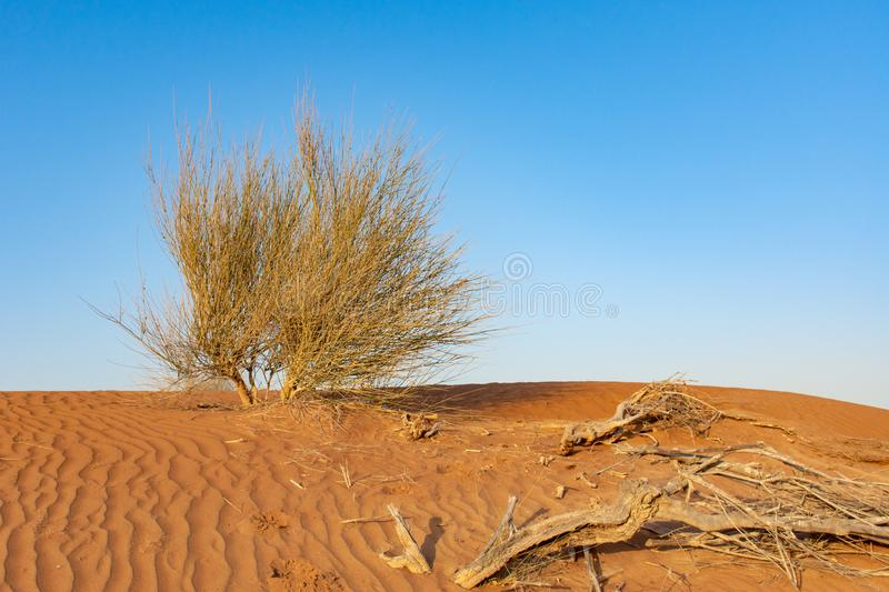 A lone green desert plan sits among dry sticks in the patterned and textured orange sand with a blue sky background. royalty free stock photography