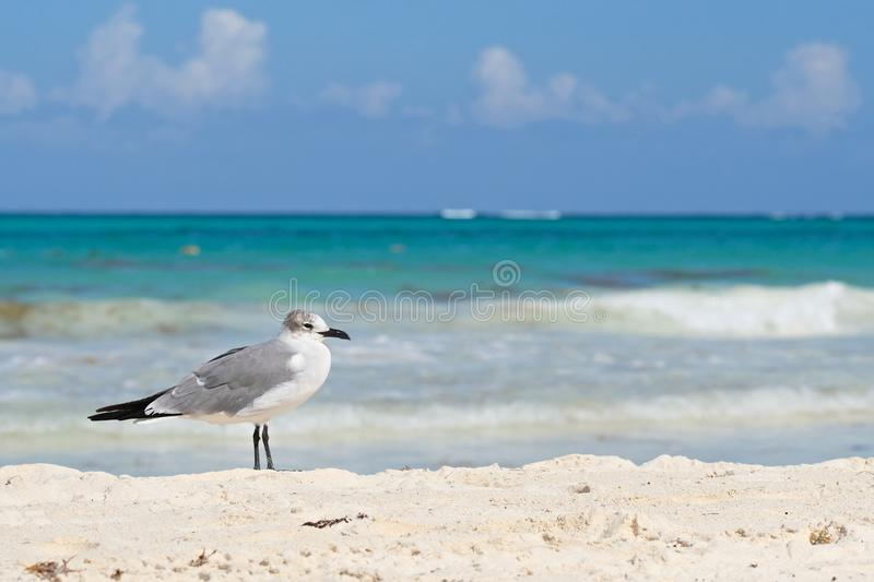 Lone gull. A lone gull stands on the beach in Cancun royalty free stock images
