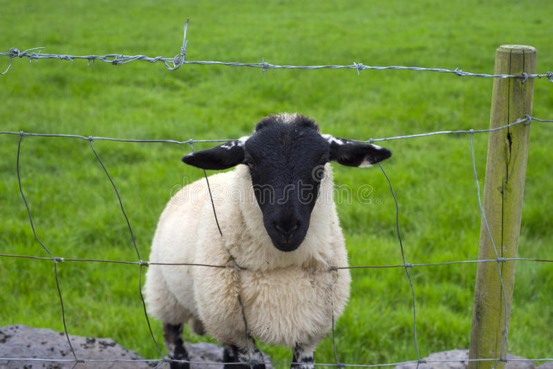 Lone irish sheep stock image