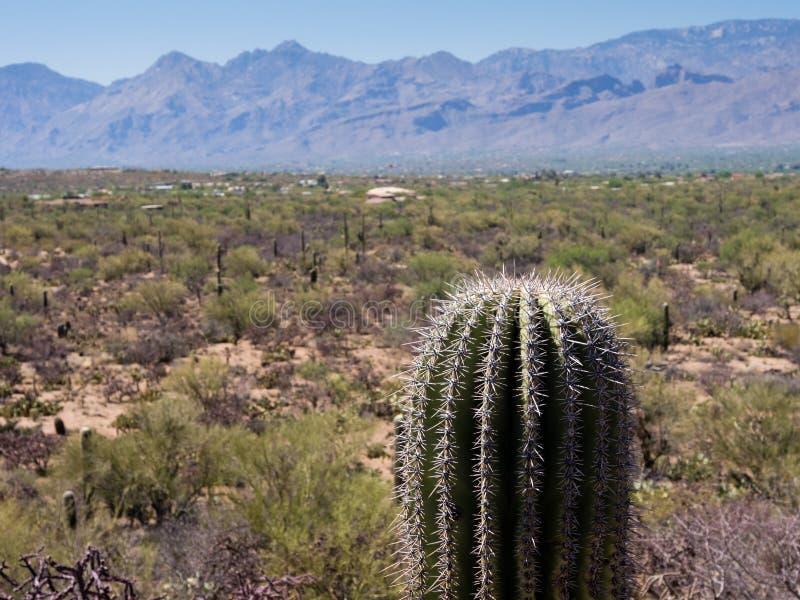 lone kaktus fotografering för bildbyråer