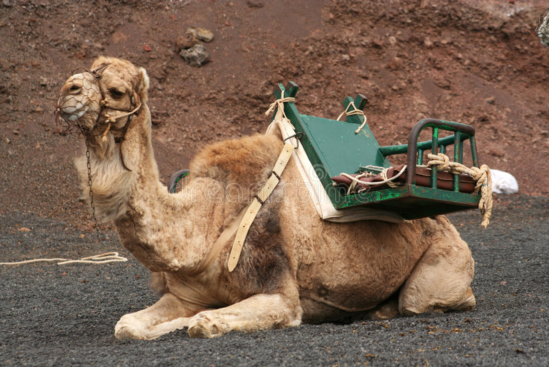 lone kamel royaltyfri bild