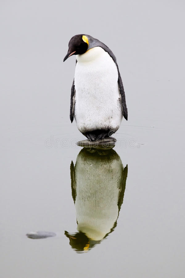 Lone King Penguin on a rock royalty free stock images