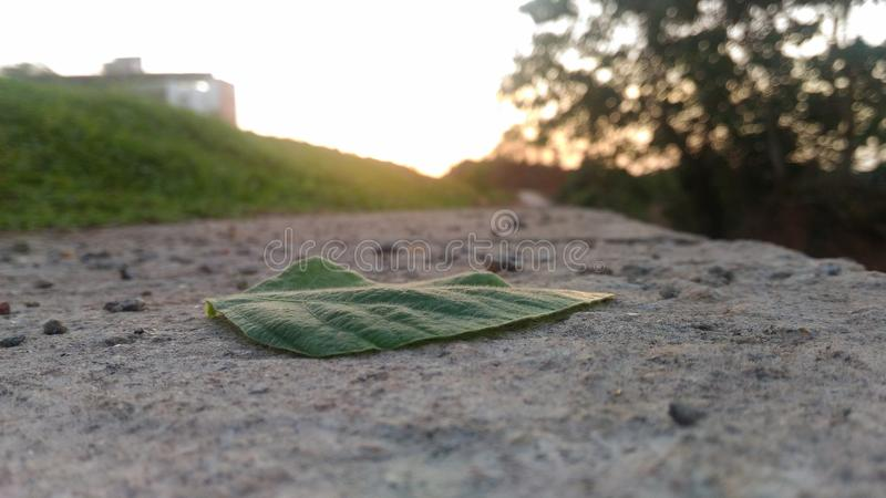 Lone Leaf. Green royalty free stock image