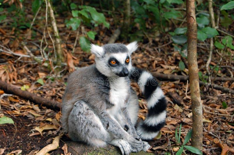 lone lemur fotografering för bildbyråer