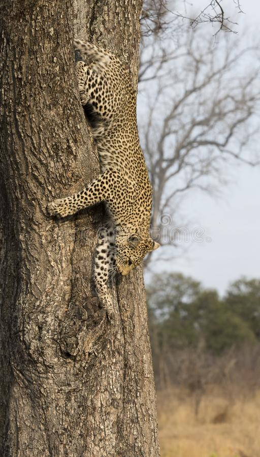 Lone leopard climbing fast down a high tree trunk in nature during daytime stock photo
