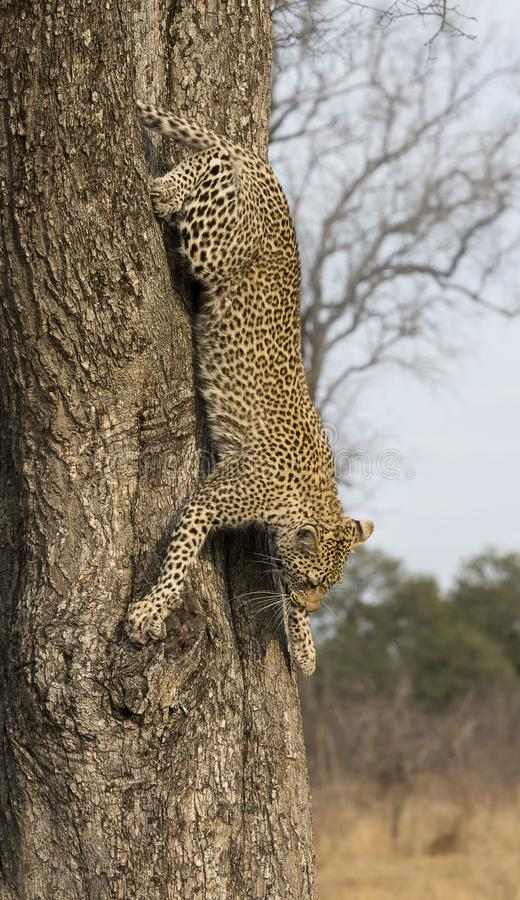Lone leopard climbing fast down a high tree trunk in nature during daytime stock image