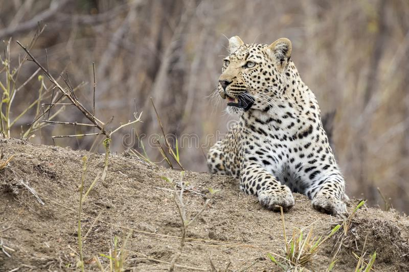 Lone leopard lay down resting on an anthill in nature during day royalty free stock image
