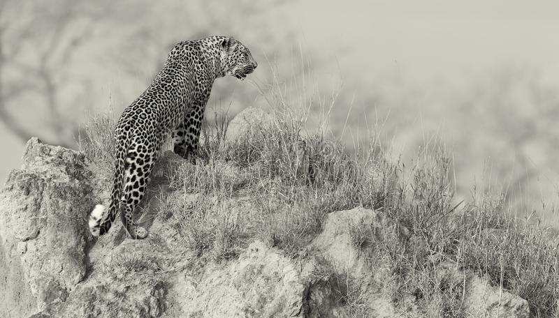 Lone leopard sit down resting on anthill in nature during daytime royalty free stock images
